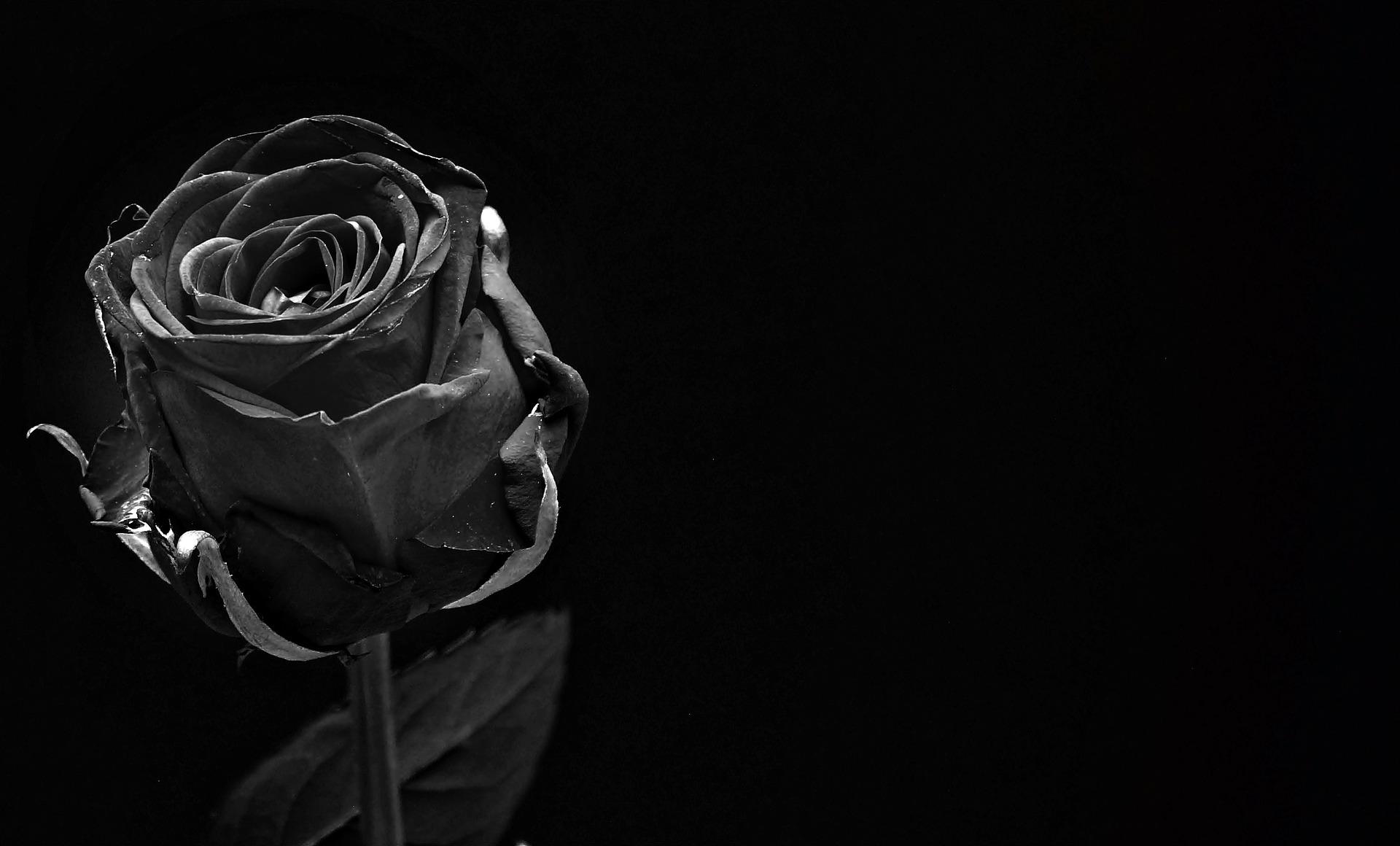 zwarte rozen
